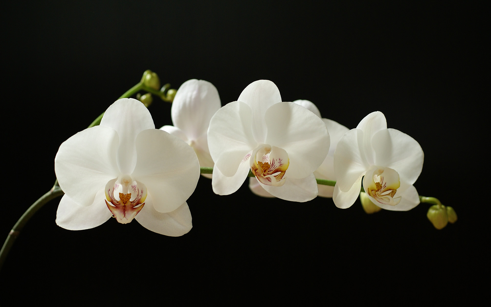 White Orchid Types White Orchid