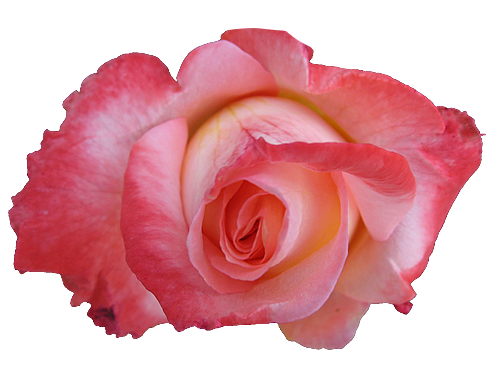 Rose transparent isolated