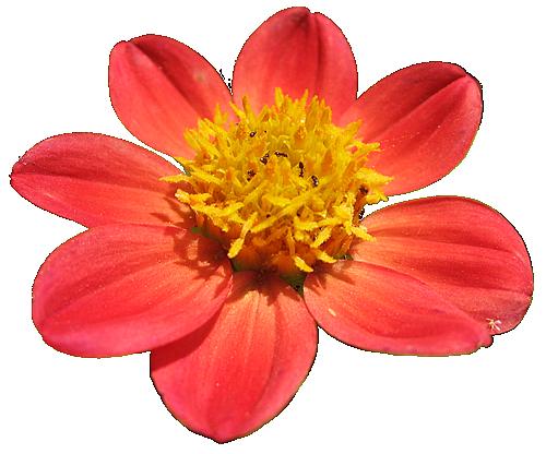mum isolated flower transparent