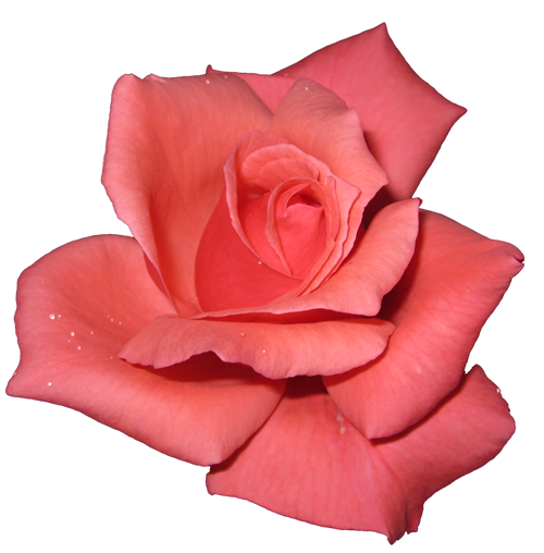 pink rose transparent isolated
