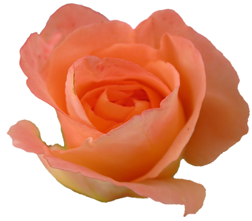 peach rose transparent isolated