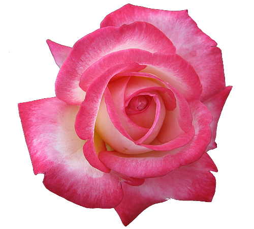 tea rose transparent isolated
