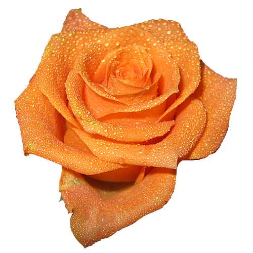water peach rose