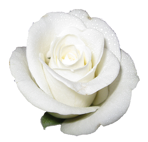 white elegant rose