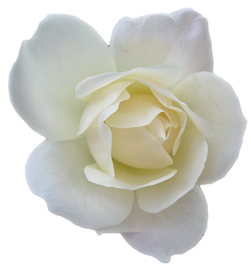 white rose transparent isolated