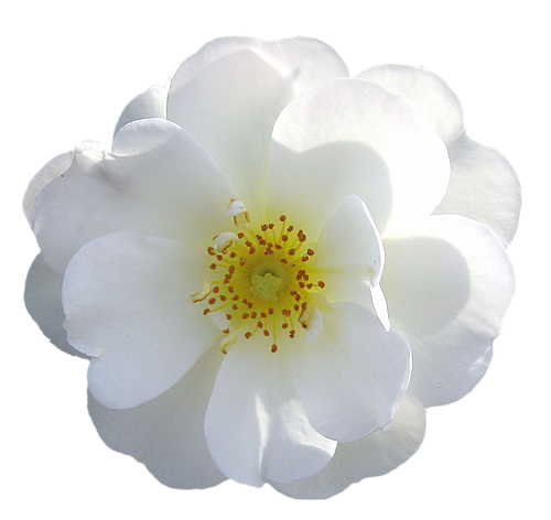 wild white rose transparent isolated