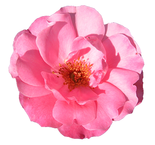 wild pink rose transparent isolated