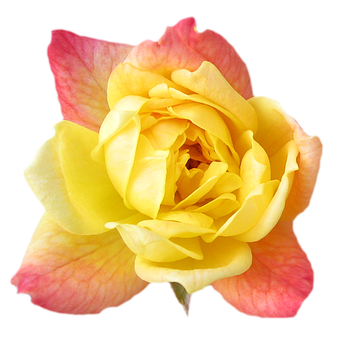 Yellow Rose Transparent Isolated