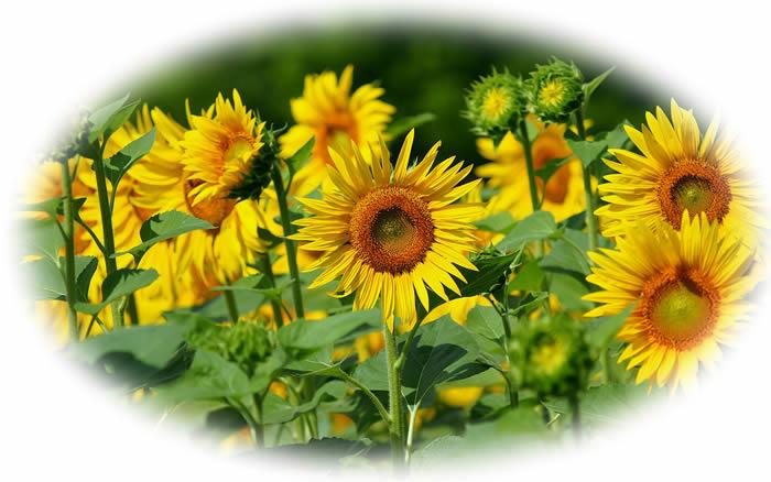 flowers wallpaper desktop. enjoy the sun flowers,