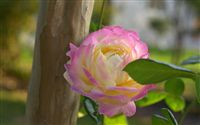 soft pink and yellow rose
