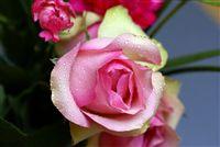 una zona verde y rosa rosa macro