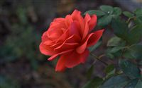light red rose