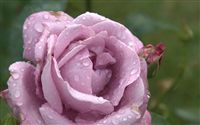 lilac rose with raindrops