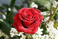 Waterdrops rosa roja