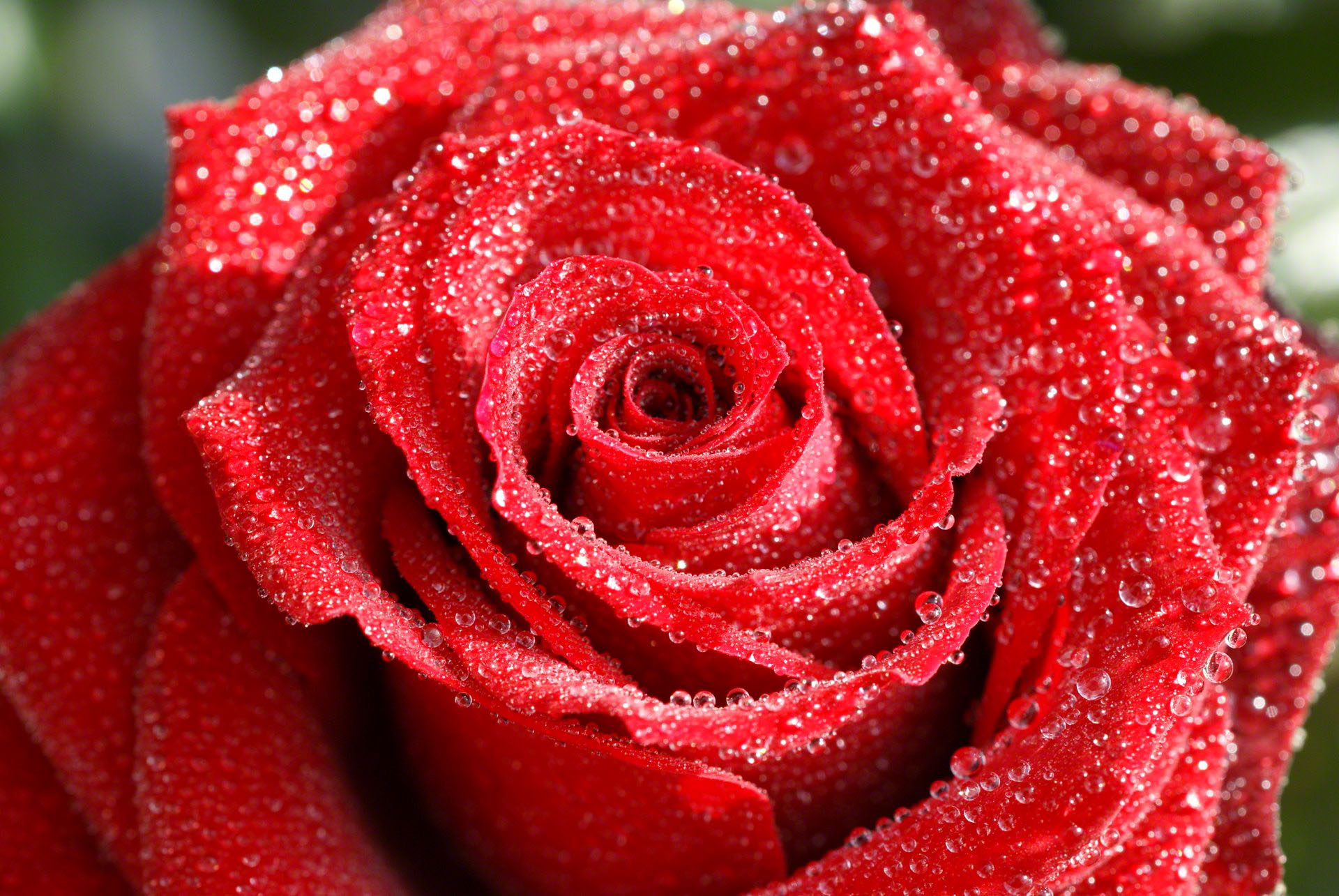Waterdrops Red Rose macro