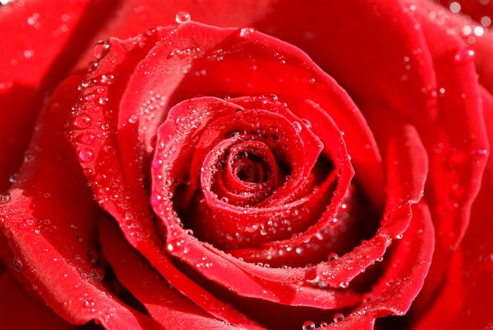 photo Red Rose waterdrops macro