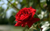 most beautiful red rose wallpaper