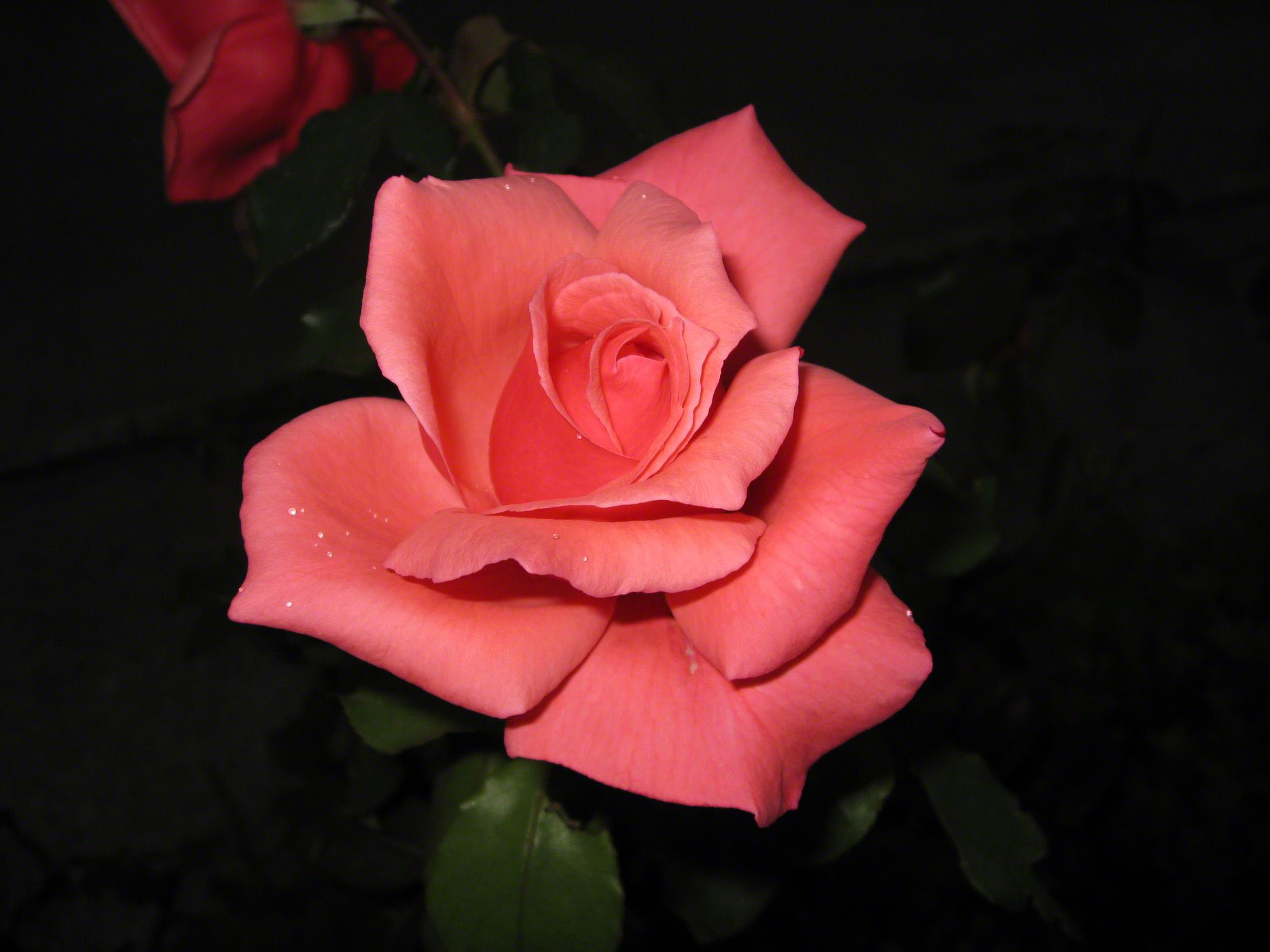 http://www.fabiovisentin.com/photography/photo/12/most-beautiful-rose_4672.jpg