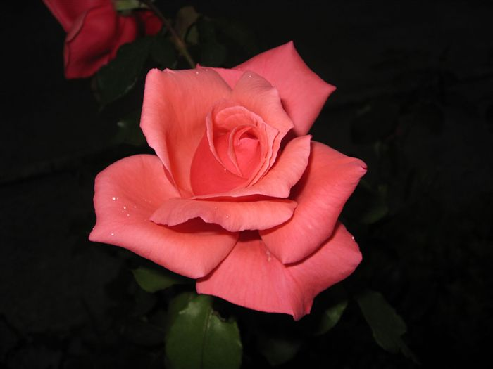 A plus Beautiful Rose