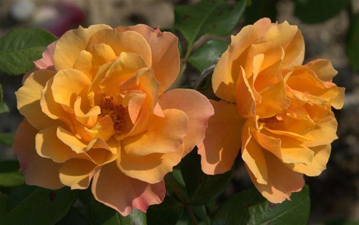 orange pink roses