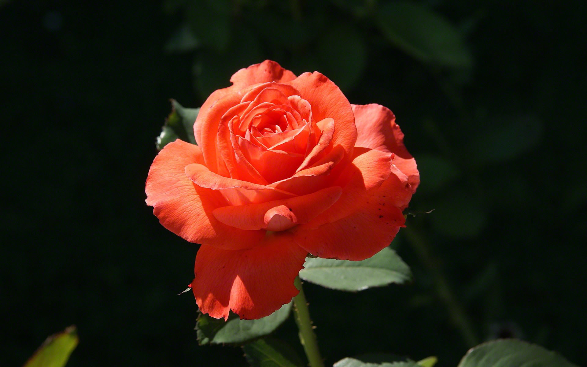http://www.fabiovisentin.com/photography/photo/12/orange-rose-hd.jpg