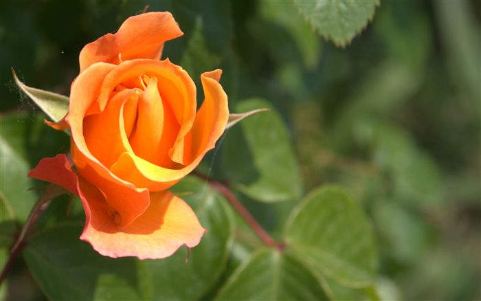 orange rosebud
