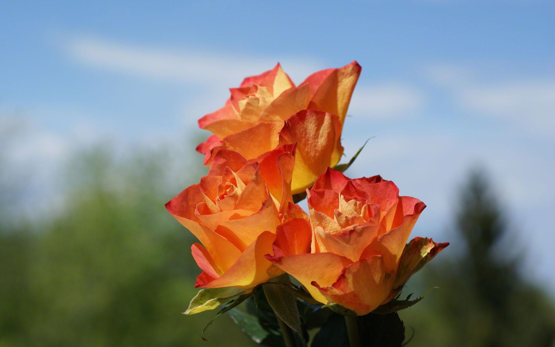 http://www.fabiovisentin.com/photography/photo/12/orange-roses-02742.jpg