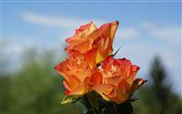 Orange Roses macro