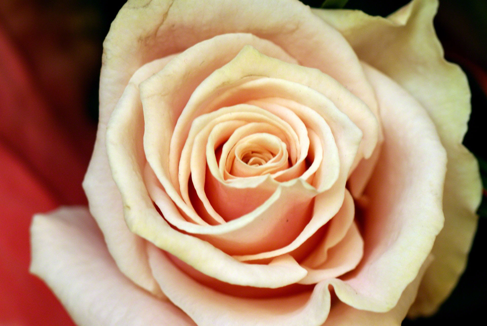 http://www.fabiovisentin.com/photography/photo/12/peach-rose-00756.jpg
