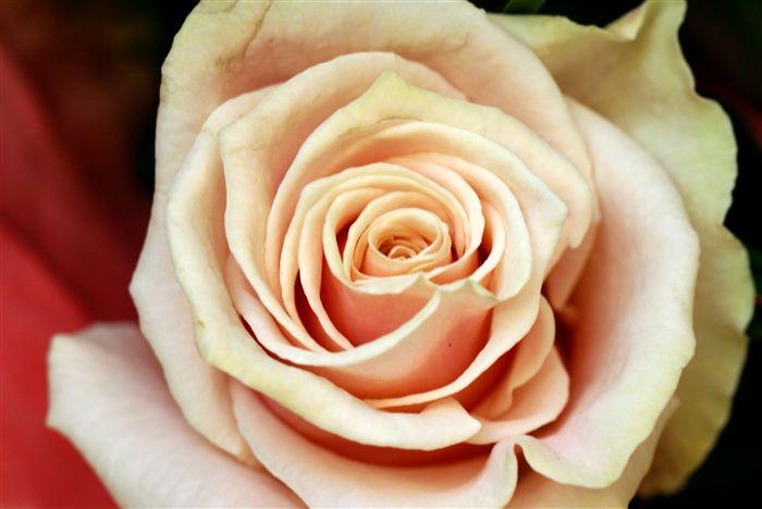 Peach rose macro
