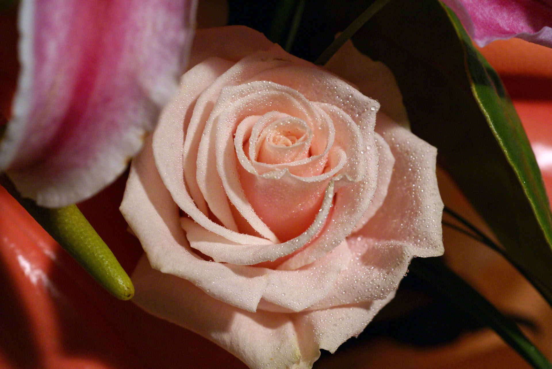 http://www.fabiovisentin.com/photography/photo/12/peach-rose-macro-dsc01197.jpg