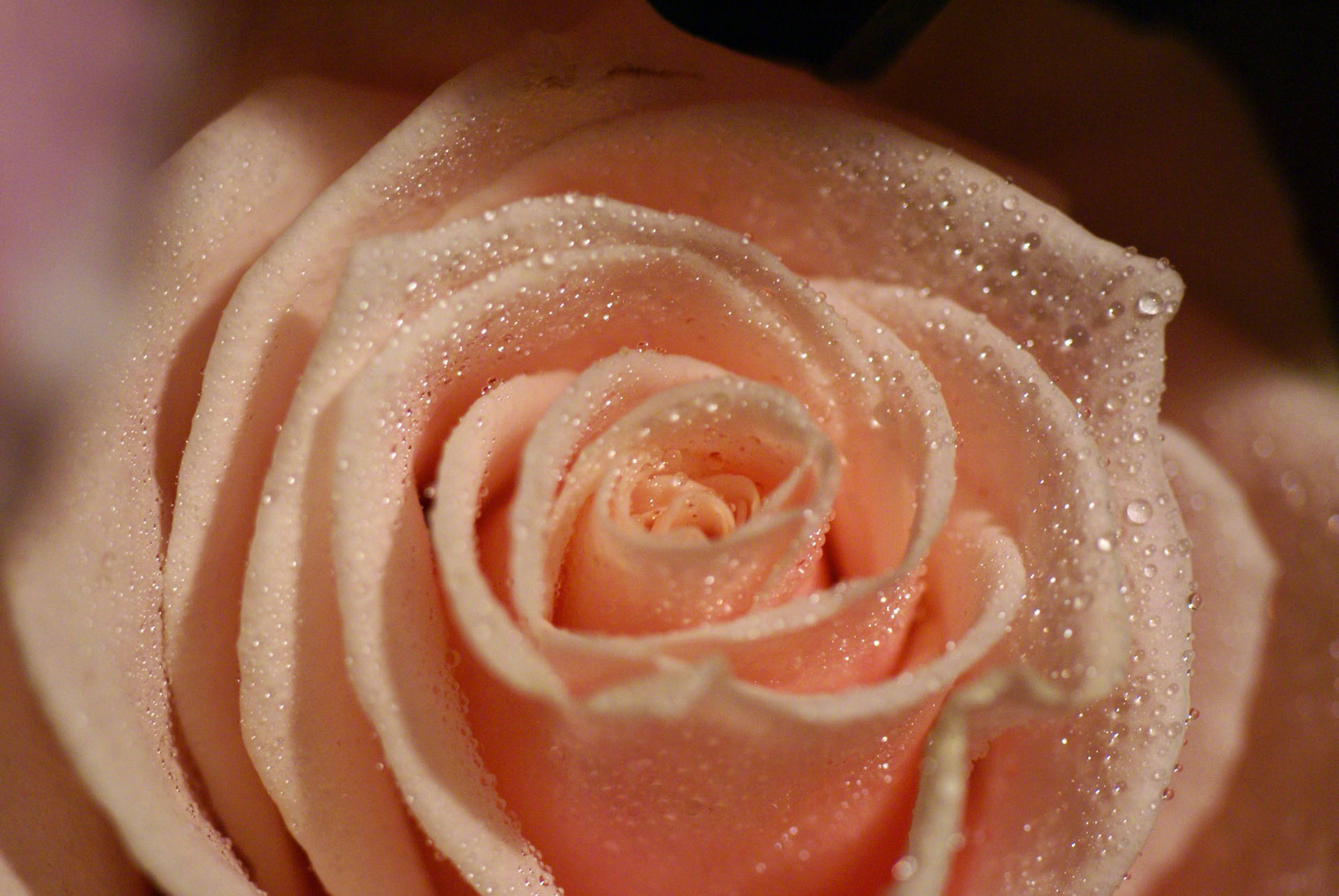 http://www.fabiovisentin.com/photography/photo/12/peach-rose-macro-dsc01212.jpg