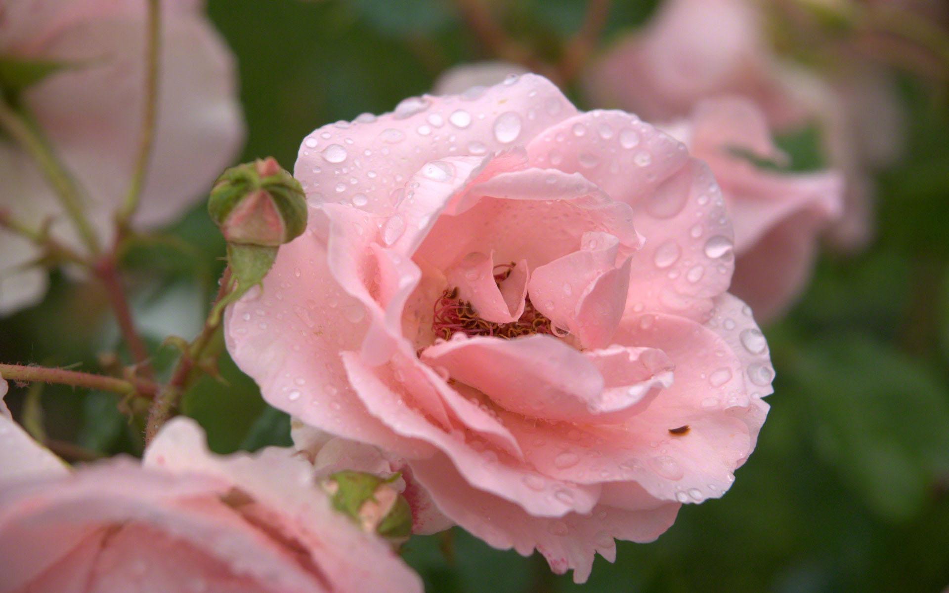... de una lluvia en Italia. beautifulhermosa rosa empapelado con gotas de