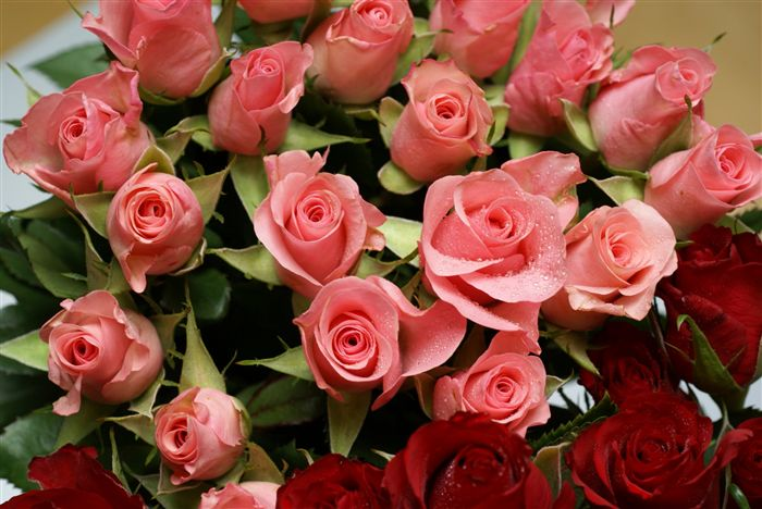 mini pink roses photo