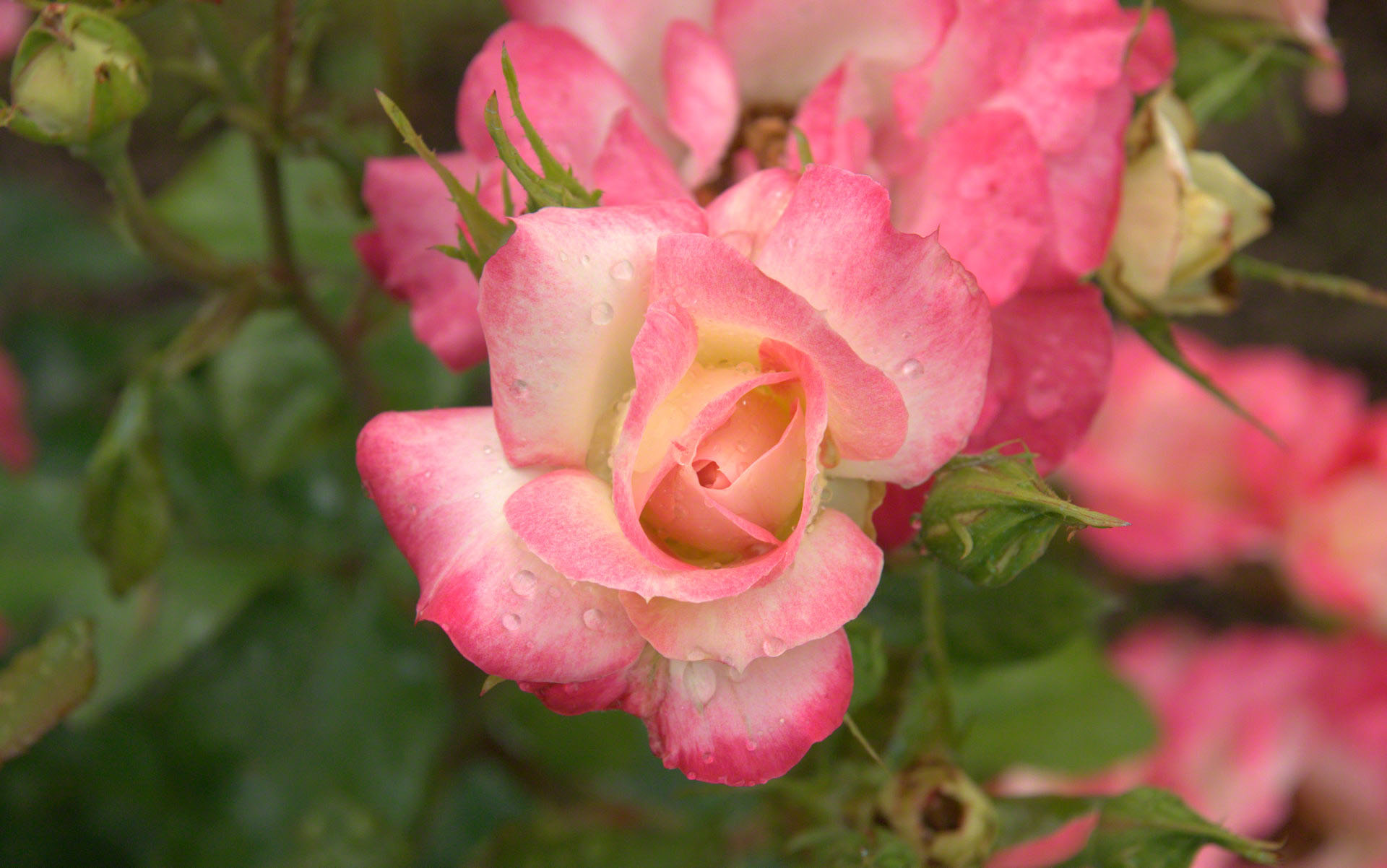 http://www.fabiovisentin.com/photography/photo/12/raindrop-pink-rose-closeup-dsc04419.jpg