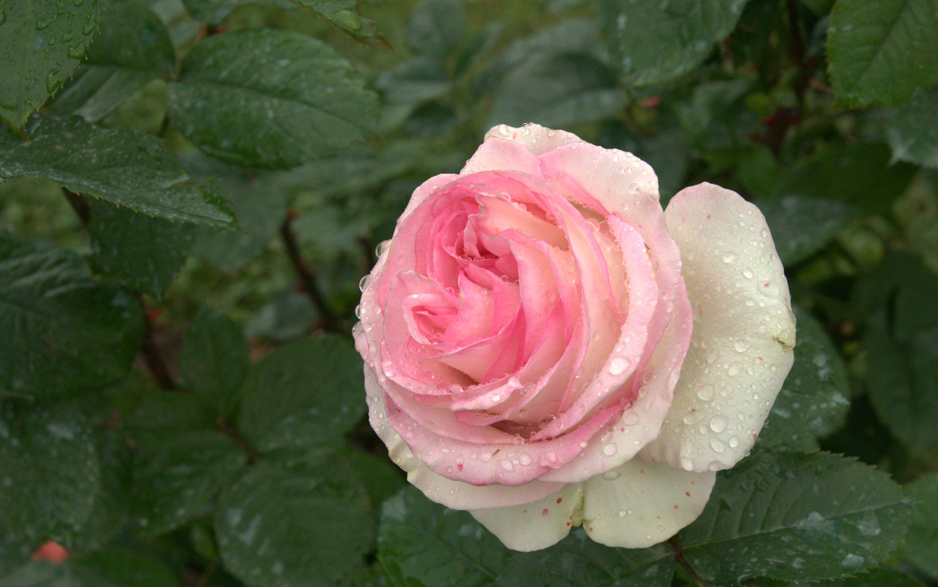 Raindrop rose wallpaper altavistaventures Image collections