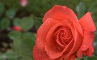 vermilion rose wallpaper