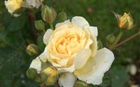raindrops yellow rose