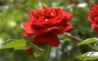 red rose bright ambient light