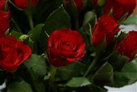 mini rosa roja cerca