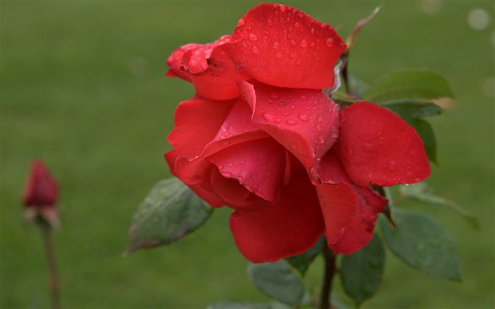 red rose with raindrops