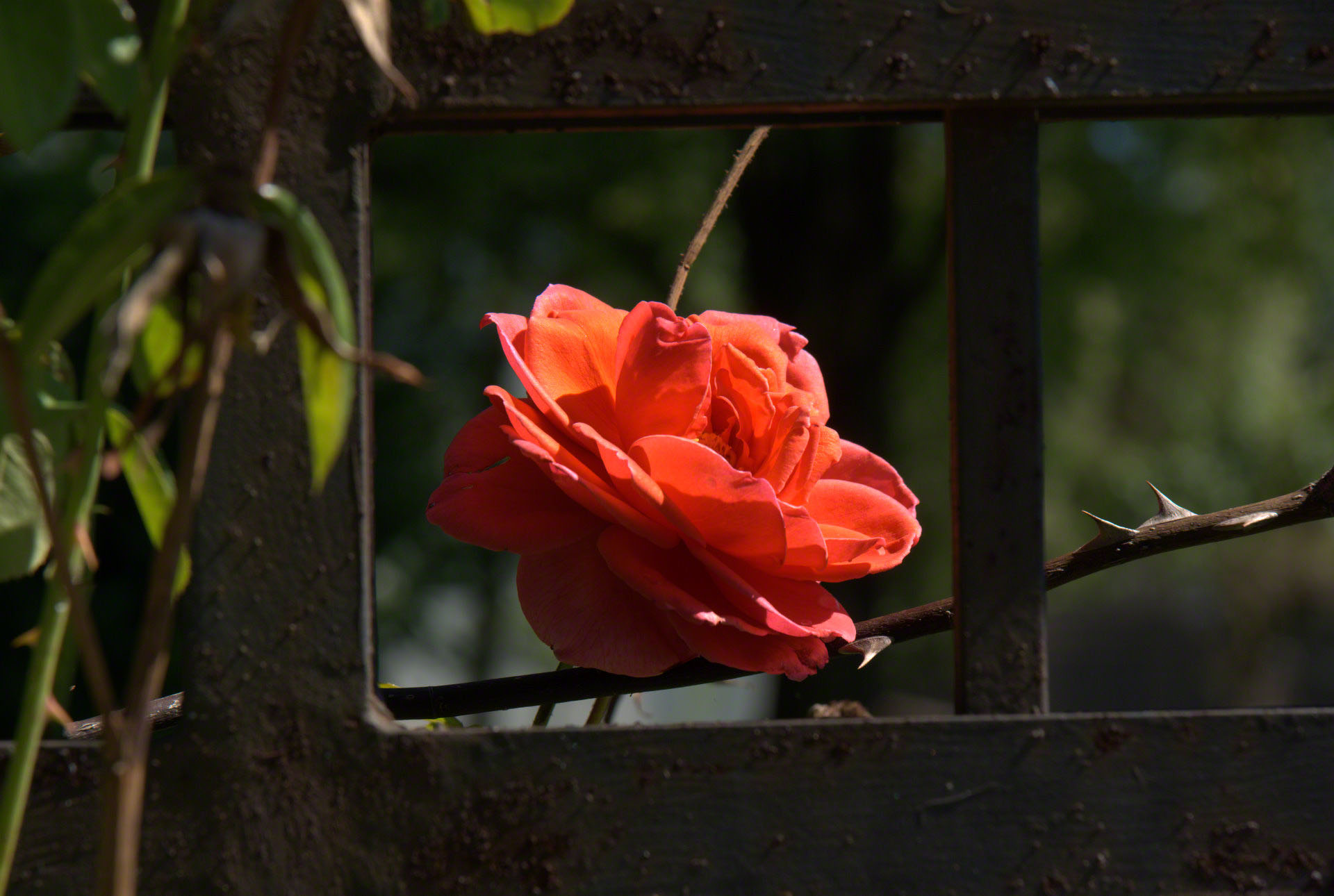 http://www.fabiovisentin.com/photography/photo/12/rose-in-a-cage.jpg
