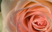 rose macro golden spiral