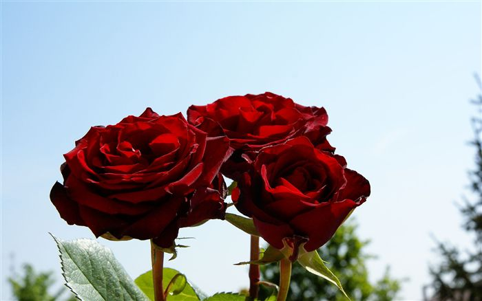 Three romantic red roses