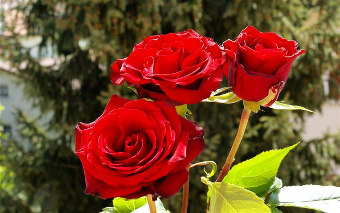 photo Three romantic red roses