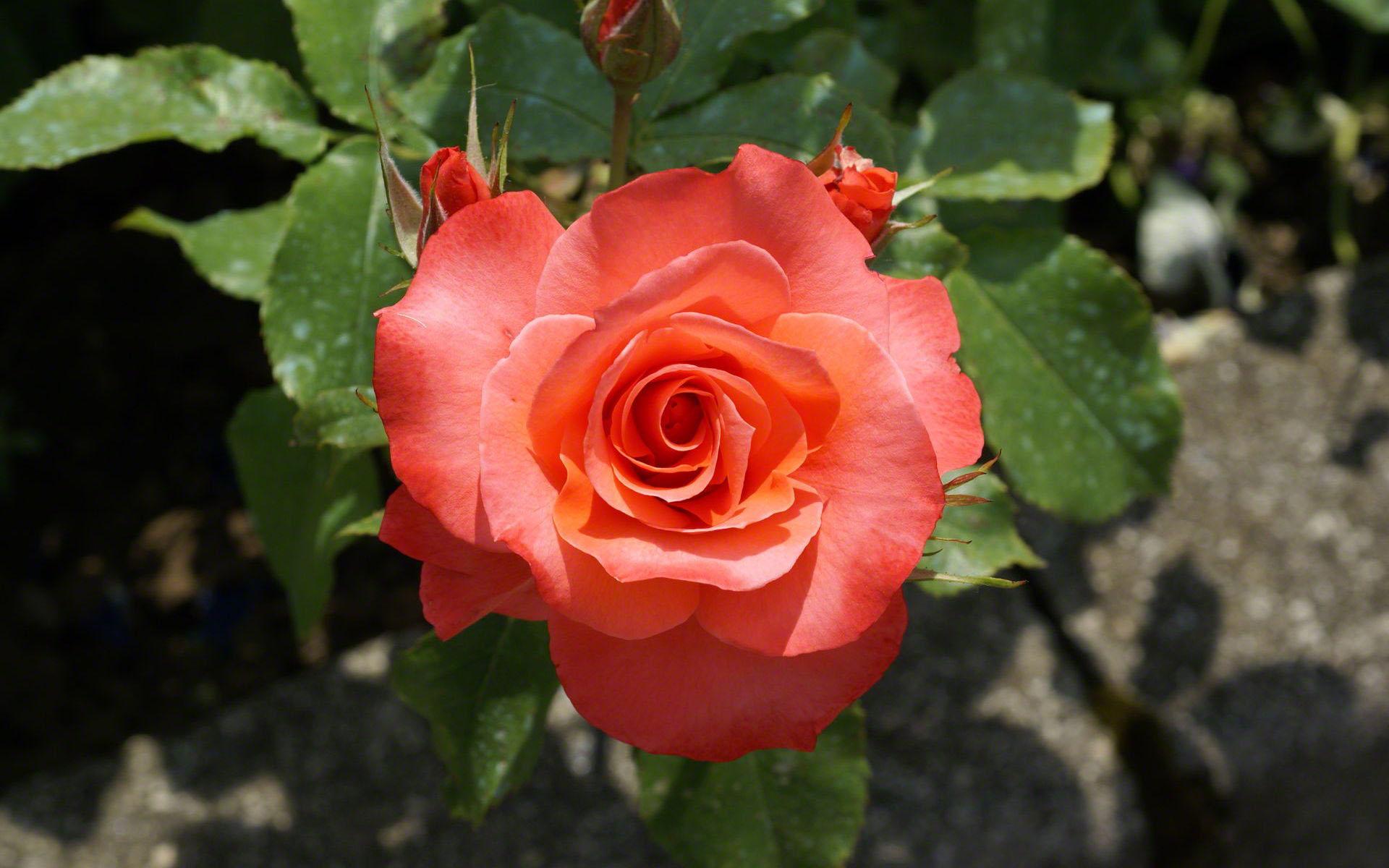 Flores amistades de 40 en adelante de odalisca y sus - Significado rosas amarillas ...