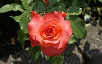 Fond �cran rose