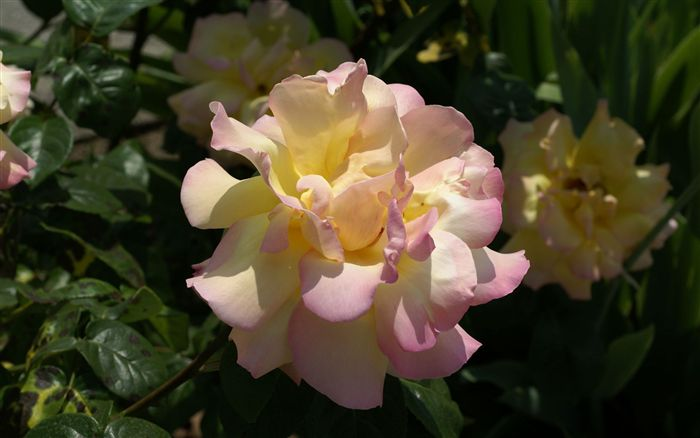 photo pink yellow rose photo