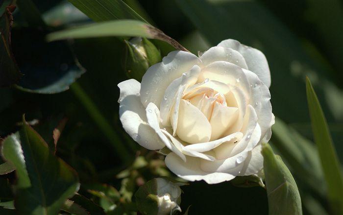 rose soulmates