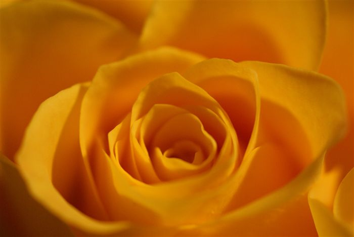 photo Yellow rose wallpaper